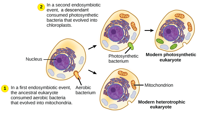 Mitochondria And Chloroplasts (article)