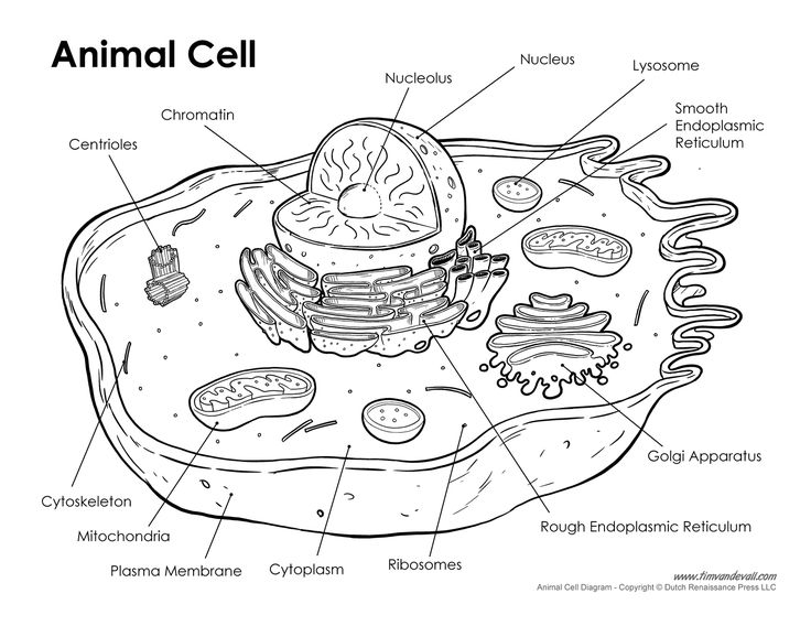 Animal Cell Worksheet Labeling Animal Cell Labeled Science Co Op