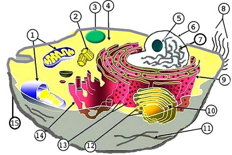 Label The Parts Of The Plant And Animal Cell