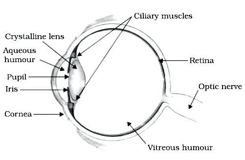 Human Eye Diagram Label Worksheet – Michaelhannan Co