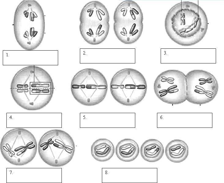 Label The Phases Of Meiosis