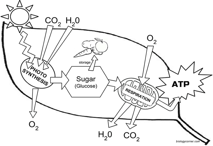 Chloroplast Structure And Function