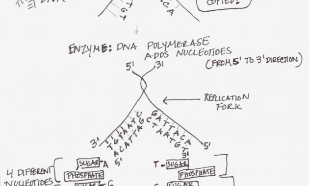 Protein Synthesis Labeling Worksheet Beautiful Graphic Showing