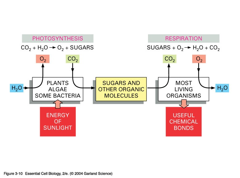 How Do Photosynthesis And Respiration Work Together