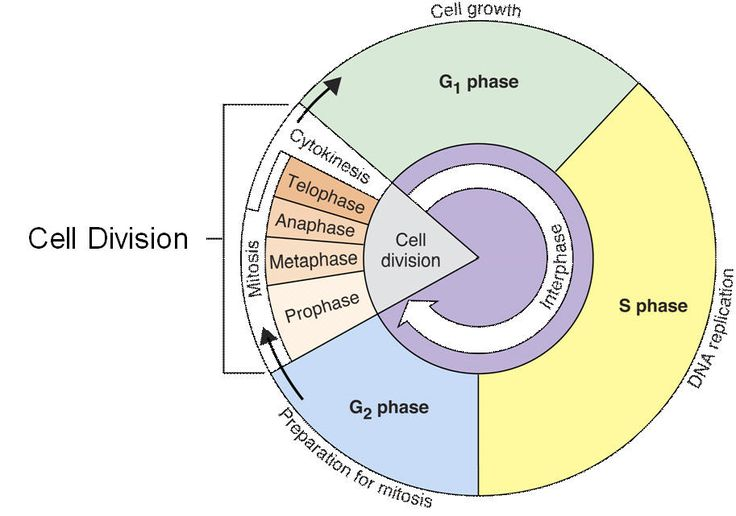 Cell Cycle Interphase