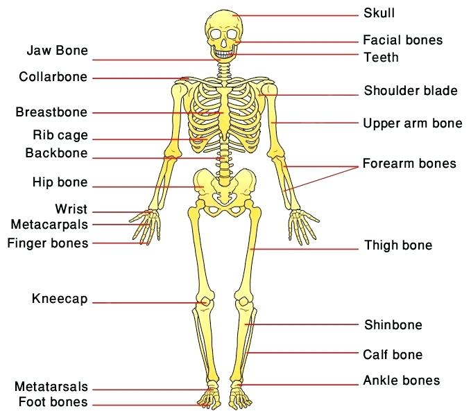 Human Skeleton Human Anatomy Worksheets For Kindergarten Human