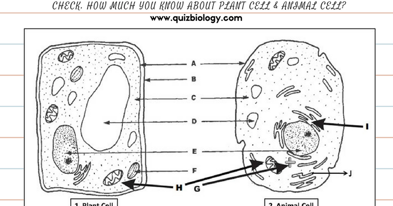 Plant Cell And Animal Cell Diagram Worksheet Pdf ~ Biology Exams 4 U