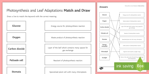 Photosynthesis Match And Draw