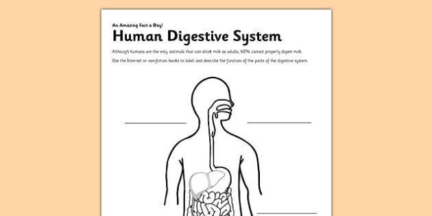 Human Digestive System Worksheet   Worksheet