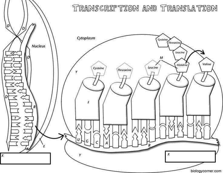 Transcription Worksheet Answers Transcription Translation