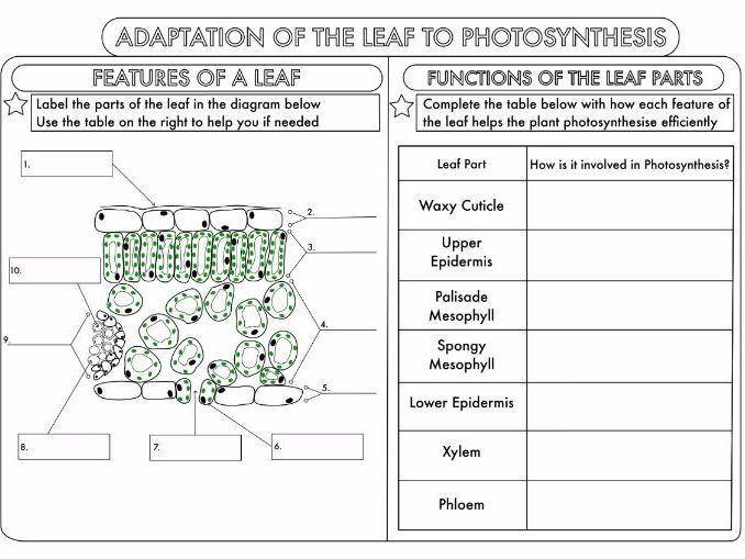 Leaf Structure Worksheet Answers