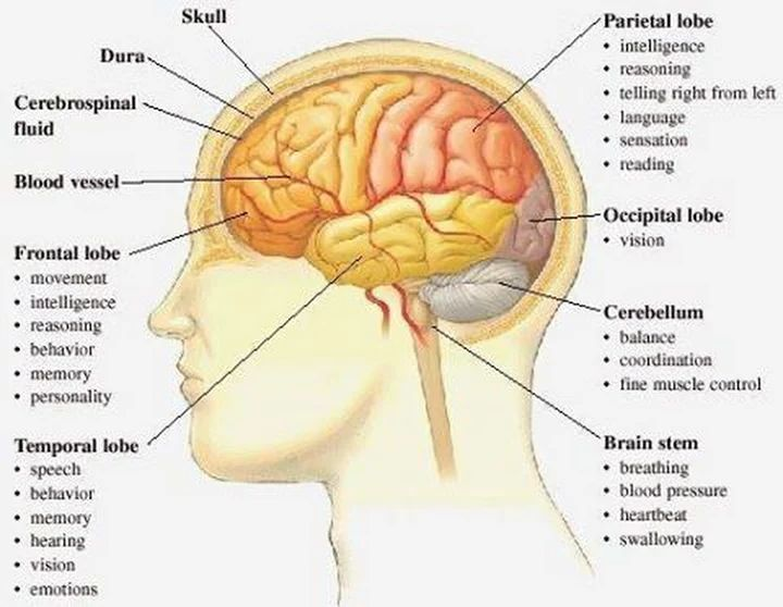 What Is The Structure Of The Brain And Lobes