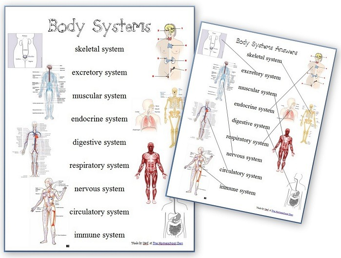 Human Body Systems Worksheets Archives