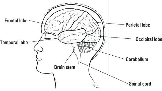 Brain Structures And Functions Worksheet – Webbuilderdirectory Info
