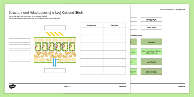 Leaf Structure And Function Worksheet
