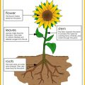 Parts Of A Sunflower Worksheets
