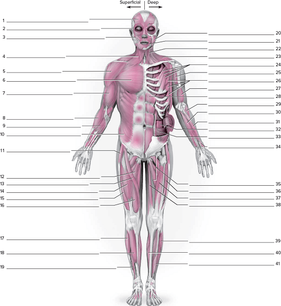 Anterior Muscular System Worksheeton The Posterior Musc