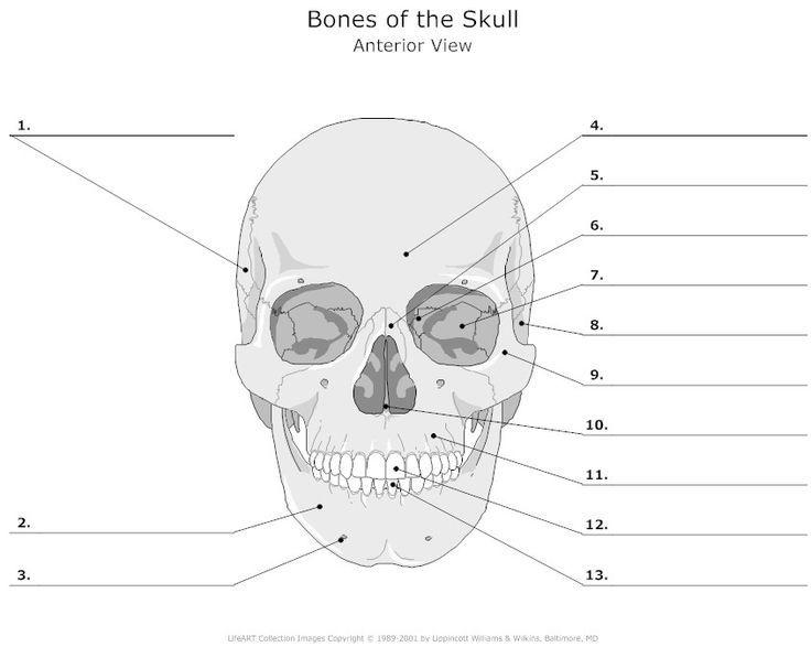 Empty Skull Bone Diagram
