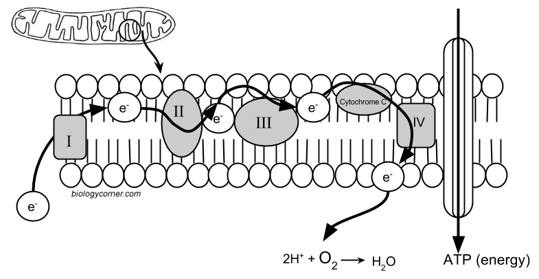Electron Transport Chain Worksheets