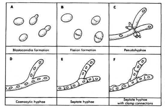 Fungi Coloring Worksheet Key