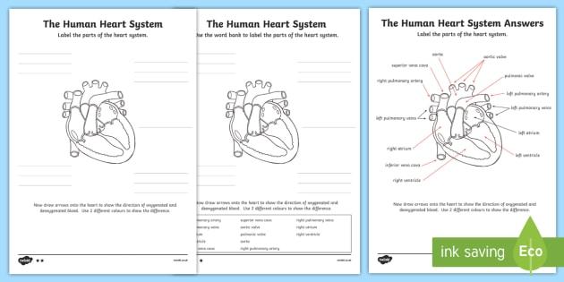 The Human Heart Cardiovascular System Labeling Worksheet   Worksheet