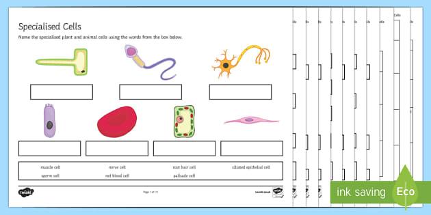 Ks3 Specialised Cells Worksheet   Worksheets