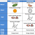 Photosynthesis And Respiration Worksheets