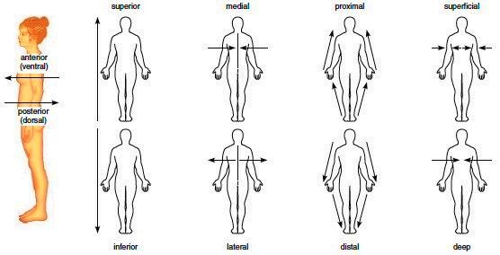 These Anatomical Directional Terms Are Used To Describe The