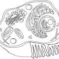 Eukaryotic Cell Coloring Worksheets