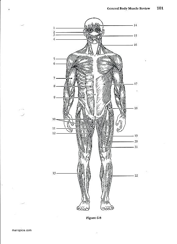 Muscle Labeling Worksheets – Odmartlifestyle Com