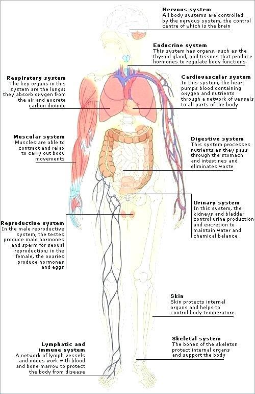 Muscular System Worksheets For Kids