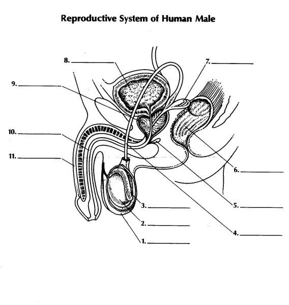 The Male Reproductive System Worksheet For Simplifying Fractions