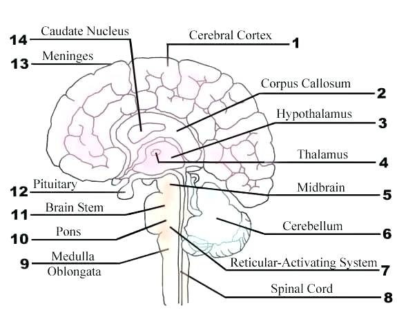 Best Brains Worksheets Label Brain Parts Worksheet The Of Image