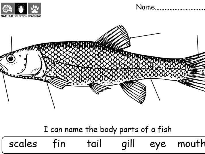 Parts Of A Fish And Their Functions By Choralsongster