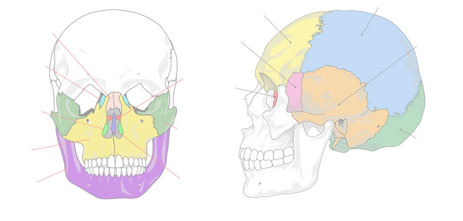 Human Skull  Facial And Cranial Bones Quiz