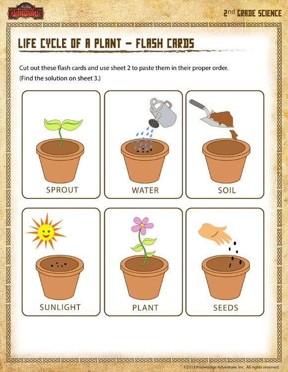 Life Cycle Of A Plant – Flash Cards