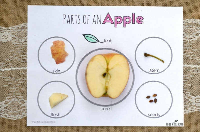 Parts Of An Apple  Activity + Free Printable