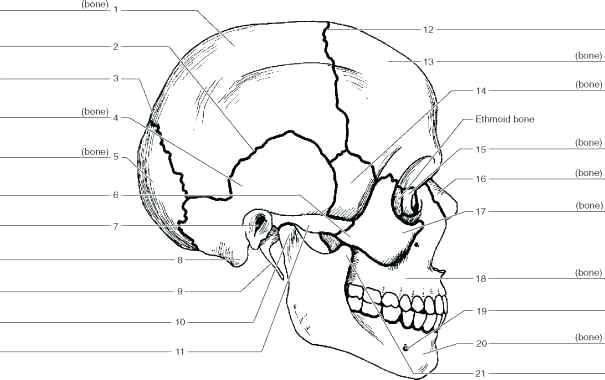 Axial Skeleton Skull Worksheet Worksheets For All