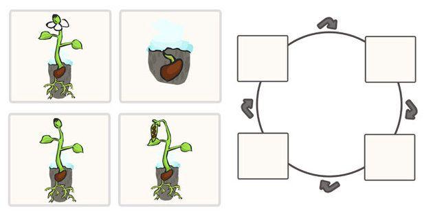 Bean Life Cycle Worksheets