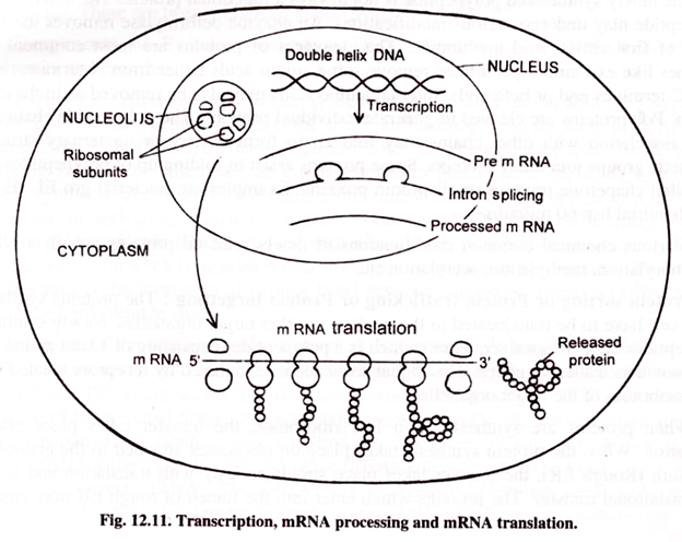 Protein Synthesis Translation With Diagram  165624694 – Protein