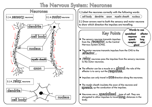Gcse Revision Nervous System  Neurones Worksheet By Beckystoke