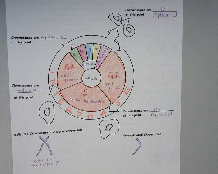 Printables  The Cell Cycle Coloring Worksheet Answers  Cinecoa