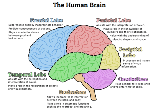 The Human Brain (diagram) (worksheet
