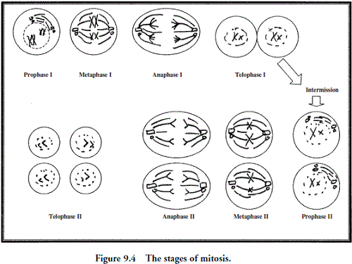 Cell Division Stages Worksheet