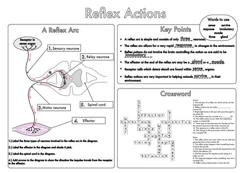 Gcse Biology  The Nervous System Worksheet Pack Updated